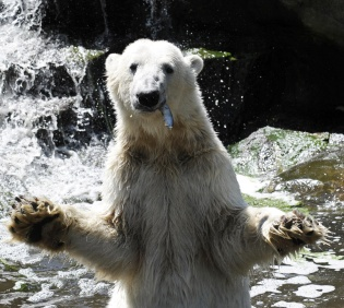 Polar bear Knut catches a fish as he is