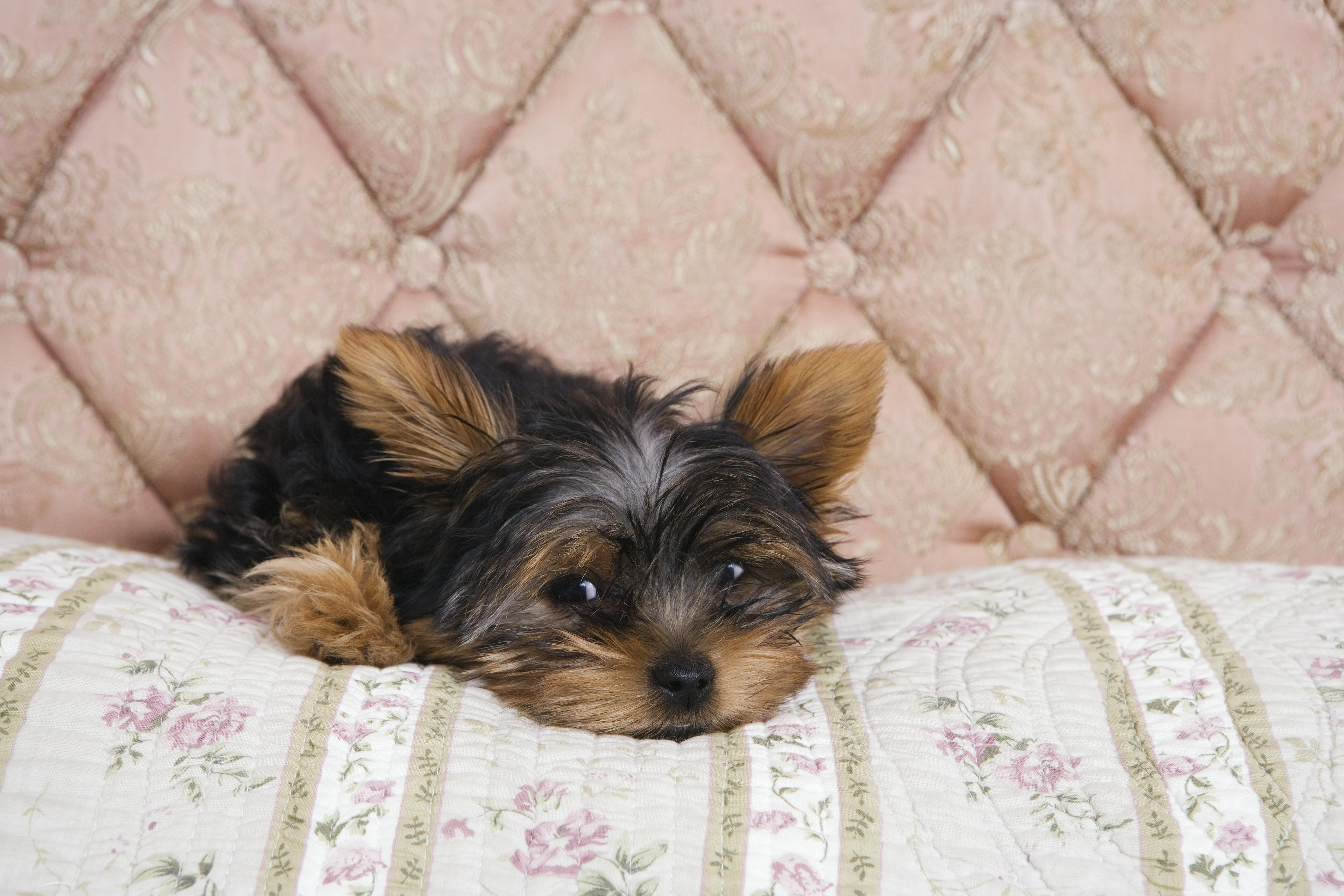 Yorkshire terrier puppy lying on bedcover
