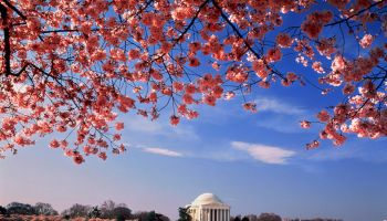 USA, Washington DC, Jefferson Memorial and cherry blossoms